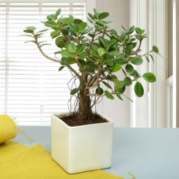 Attractive Ficus Iceland Bonsai Plant