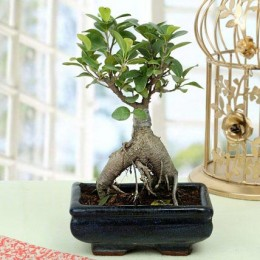 Appealing Ficus Ginseng Bonsai Plant