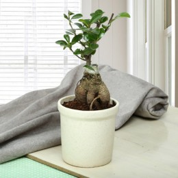Exotic Ficus Ginseng Bonsai Plant