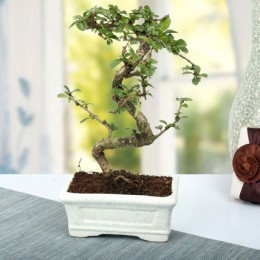 Charming Carmona S Shape Bonsai Plant