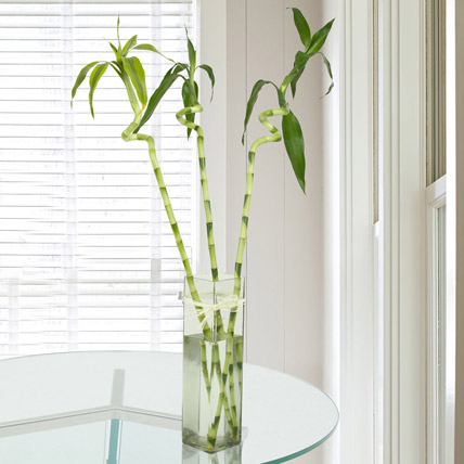 3 Spiral Bamboo Plant