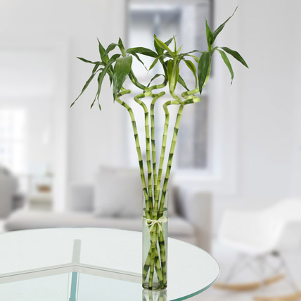 5 Spiral Bamboo Plant