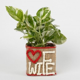 White Pothos Plant For Wife