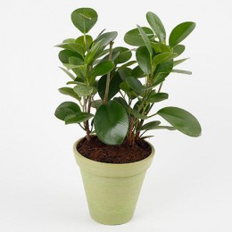 Air Purifying Ficus Plant