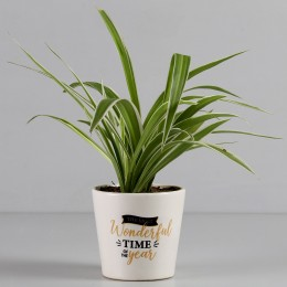 Spider Plant in Printed Ceramic Pot for New Year