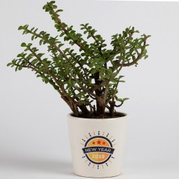 New Year Special Jade Plant in Printed Ceramic Pot
