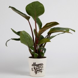 Philodendron Red Plant in Printed Ceramic Pot for New Year