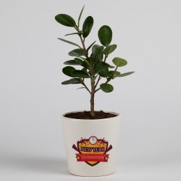 Ficus Compacta in Ceramic Pot for New Year