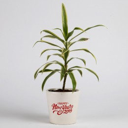 Song of India Plant in Ceramic Pot for New Year