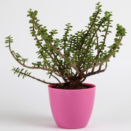 Jade Plant in Pink Imported Plastic Pot