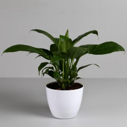 Peace Lily in White Imported Plastic Pot