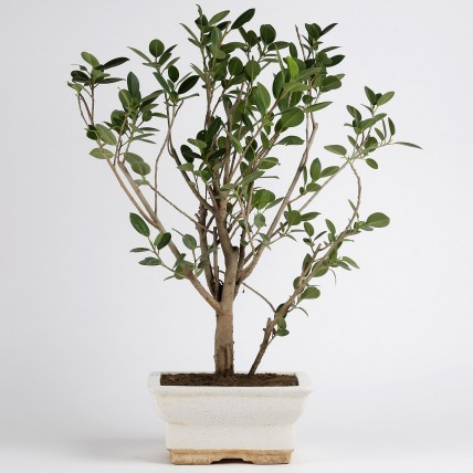 Ficus Panda Plant in White Ceramic Pot