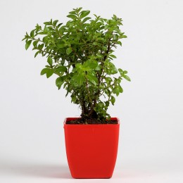 Spiraea Japonica Plant in Red Plastic Imported Pot