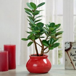 Green Ficus Dwarf Beauty Plant