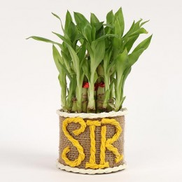 Elegant 2 Layer Lucky Bamboo Plant For Sir